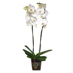 Orquidea-Phalaenopsis-2-Tallos