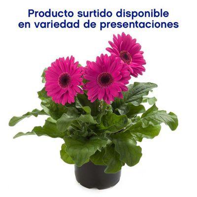 Maceta-Con-Flor---Amborella
