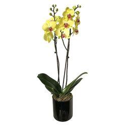 Orquidea-Phalaenopsis-1-Tallo