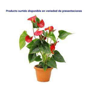 Maceta-Con-Flores-De-Colores---Amborella